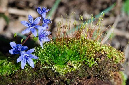 seeks: The first spring flowers and sprouts on green moss Stock Photo