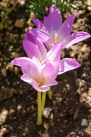 colchicum autumnale: Blooming autumn flowers. Colchicum autumnale, autumn crocus