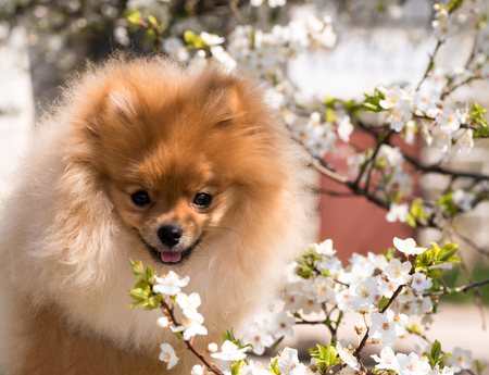 Home pet, dog, portrait of a spitz on the background of a flowering tree