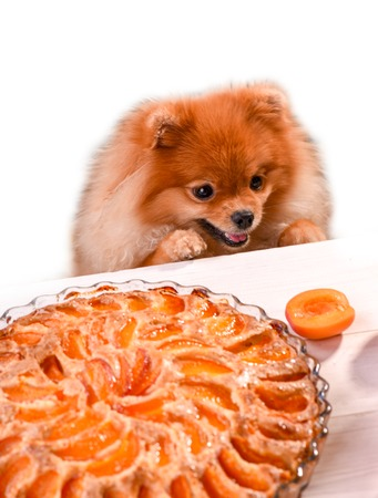 A cute Spitz puppy tries to steal apricot from the table. Stock Photo
