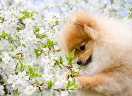 Home pet, dog. Lovely Spitz gnaws cherry blossoms.