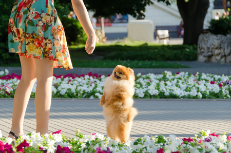 The puppy stands on his hind legs and begs for delicious food. Walking with a dog in the city. 版權商用圖片