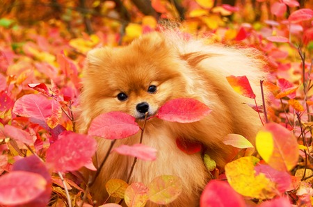 Beautiful dog in bright autumn leaves, pomeranian