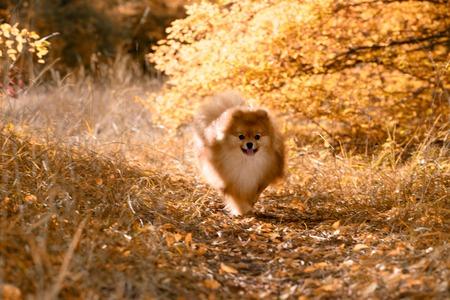 A beautiful dog runs through the bright autumn forest, the Spitz, soft focus