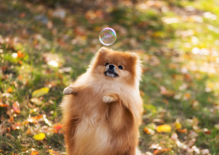 The dog stands on its hind legs and catches a soap bubble, Pomeranian spitz, soft focus Stock Photo