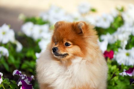 Beautiful puppy Spitz sitting happy among the flowers of Petunia.
