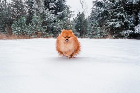 Pomeranian Spitz, a beautiful orange dog runs through a snow-covered forest.