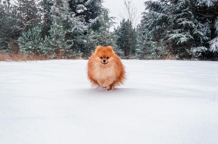 Pomeranian Spitz, a beautiful orange dog runs through a snow-covered forest.
