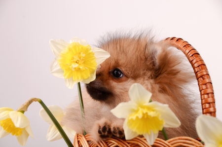 Funny puppy sniffs a flower, a dog in a basket with flowers, pomeranian Stock Photo