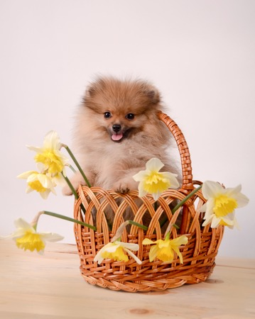 Fluffy puppy in a basket with flowers, pomeranian Stock Photo