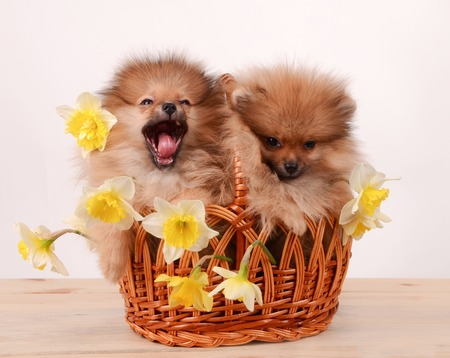 Puppies in a basket, funny bouquet of daffodils and dogs Imagens