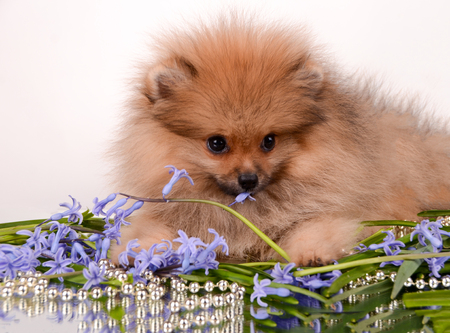 Gentle little puppy tries a flower with a tongue