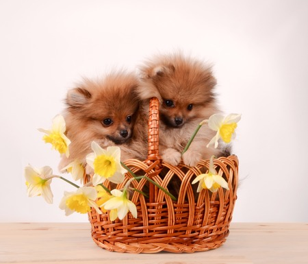Puppies in a basket, funny bouquet of daffodils and dogs Stock Photo