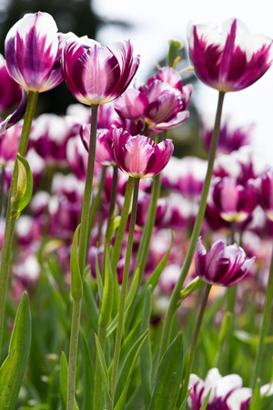Beautiful purple tulips with white edges, bottom view