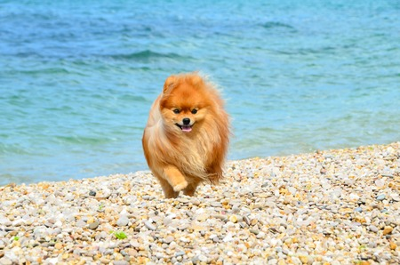 Spitz, fluffy orange dog walking along the seashore