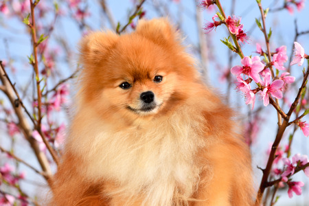 Spitz, portrait of a beautiful dog against a blue sky and peach