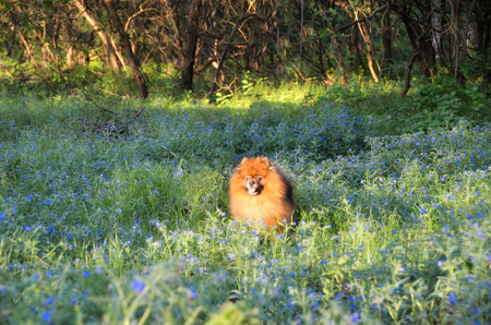 A beautiful orange dog sits in the woods on a glade of forget-me