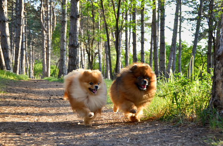 Two beautiful dogs run through the woods, a Pomeranian, faithful
