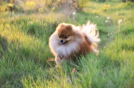 The dog runs across the field at sunset, Pomeranian Spitz, soft
