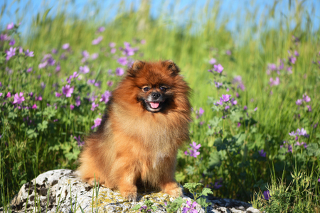 Beautiful fluffy dog sitting on a rock among wildflowers, Spitz