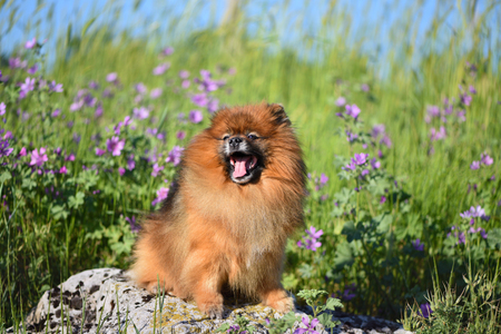 A beautiful fluffy dog sits on a rock among the wildflowers, the Stok Fotoğraf