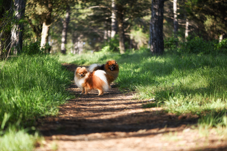 Two beautiful dogs stand on a path in a pine forest, Pomeranian Stok Fotoğraf
