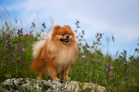 A beautiful fluffy dog stands on a rock among wildflowers, Spiez