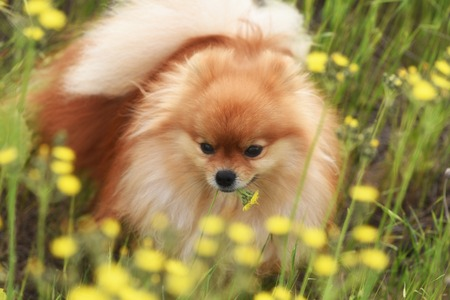 Fluffy orange dog chews wildflowers