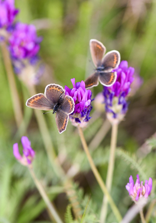Two butterflies sit on a clover flower, close-up Stok Fotoğraf