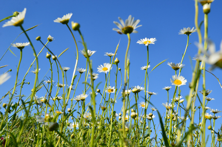 chamomile field, nature, natural background, spring flowers