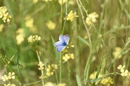 A blue butterfly sits on a yellow field flower