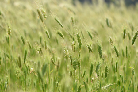 Spikelets of grass in the field