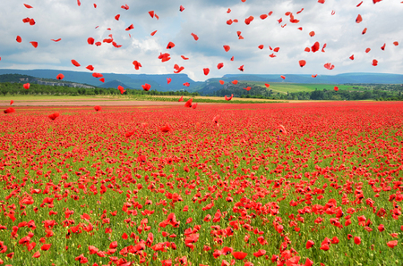 A beautiful landscape, a poppy field in the background of mountains, flying poppy petals