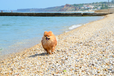 Spitz, an orange dog running along the seashore, the lucky dog wet his paws Stok Fotoğraf