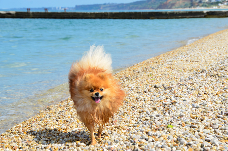 Spitz, an orange dog running along the seashore, a funny dog wet his paws