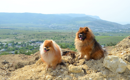 Pomeranian, two beautiful fluffy dogs sit on a mountain in the background of hills and vineyards Stok Fotoğraf