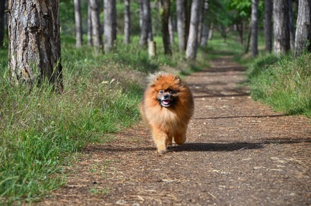 A beautiful dog walks along a forest path, a Pomeranian