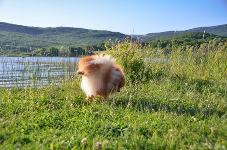 A fluffy dog stands in a funny pose, having lifted his foot on the shore of the lake
