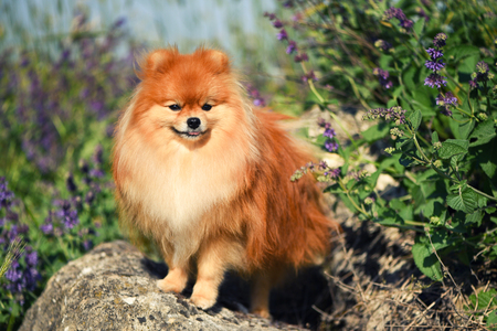 A beautiful fluffy dog stands on a rock among wildflowers, Spiez, pomeranian