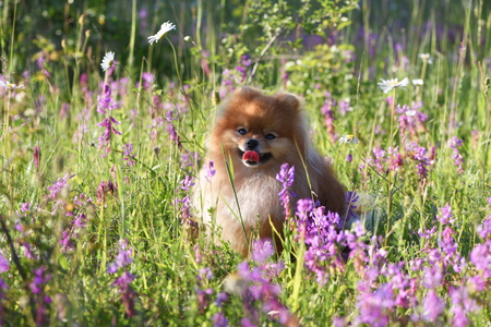 Beautiful dog, pomeranian among wildflowers