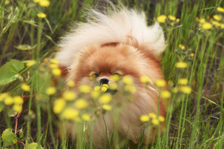 Fluffy dog hiding in the field flowers