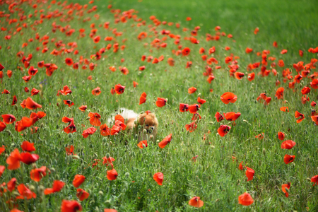 A beautiful fluffy dog makes his way through the tall flowers on the poppy field