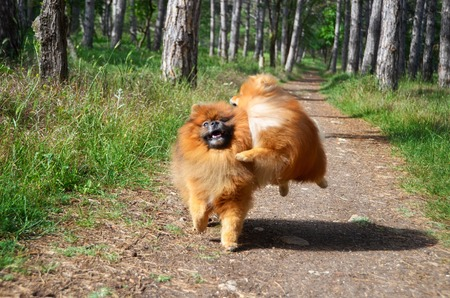 Two dogs play fun on the forest path, the Spitz