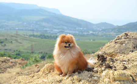 Pomeranian, a beautiful fluffy dog sits on a mountain in the background of hills and vineyards Stok Fotoğraf