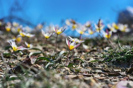 Tulip dichromatic, rare plants, beautiful spring flowers Фото со стока
