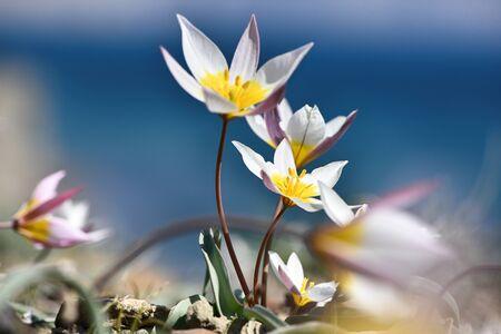 Tulipano dicromatico, piante rare, bellissimi fiori primaverili Archivio Fotografico