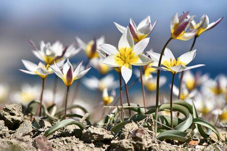 Tulip dichromatic, rare plants, beautiful spring flowers