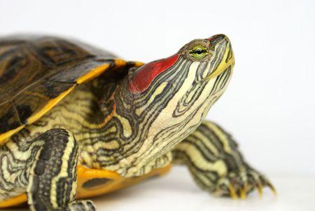 terrapin: Chiudere tartaruga Pond-up, ha sollevato la testa (profilo). Archivio Fotografico