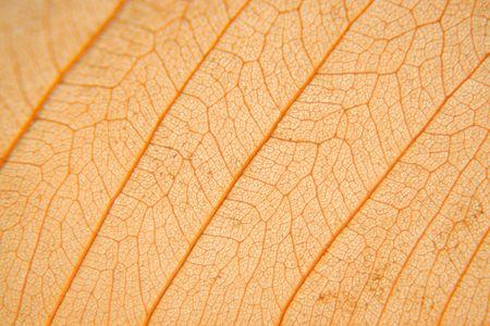 Macro texture of dry leaf Stock Photo - 5585672