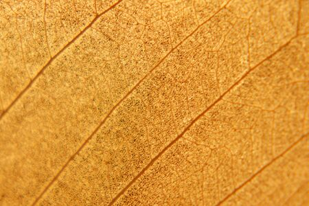 nervation: Macro texture of dry leaf